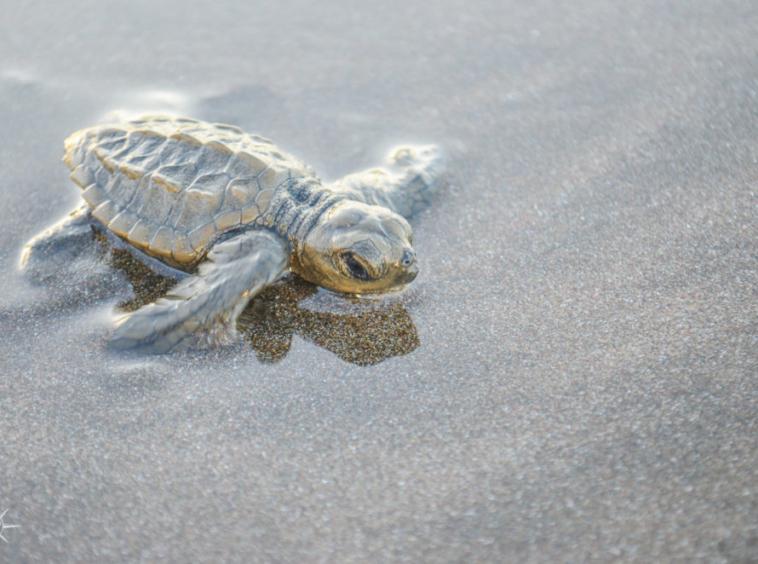 punta-banco-sea-turtle-release