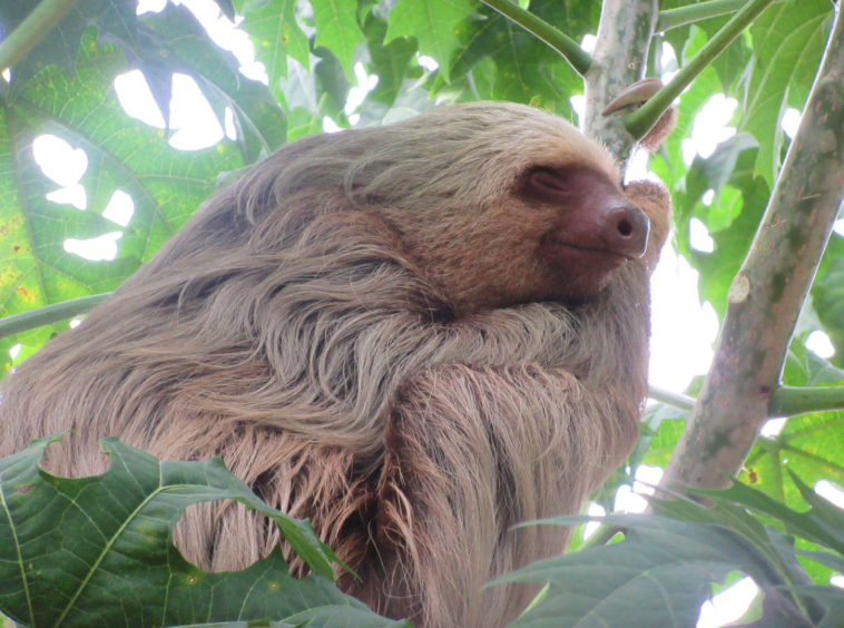pavones-villa-for-sale-sleeping-sloth