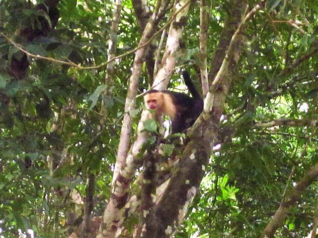 playa-zancudo-monkey